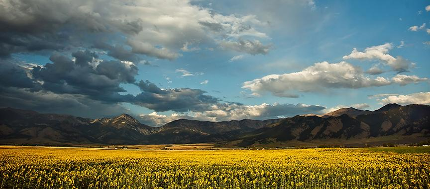 Field fo sunflowers in front of a mountain range